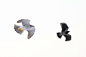 Northern Goshawk (Accipiter gentilis) chasing a Hooded crow (Corvus cornix) Southern Norway, December - Roy Mangersnes