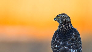 Juvenile Northern goshawk (Accipiter gentilis) portrait at sunrise, Southern Norway, December - Roy Mangersnes