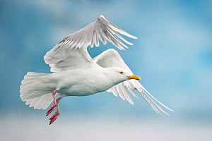 Glaucious gull (Larus hyperboreus) flying against a blue glacier front, Spitsbergen, Svalbard, Norway, September - Roy Mangersnes