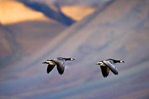 Two Barnacle geese (Branta leucopsis) in flight, Spitsebergen, Svalbard, Norway, August - Roy Mangersnes