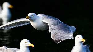 Herring gull (Larus argentatus) in flight with others on water, Norway, July - Roy Mangersnes