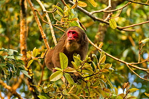 Stump Tailed Macaque (Macaca arctoides) among branches. Gibbon Wildlife Sanctuary, Assam, India.  -  Sandesh Kadur
