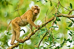 Northern Pig-tailed Macaque (Macaca leonina) on branch. Gibbon Wildlife Sanctuary, Assam, India.  -  Sandesh Kadur