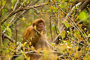 Arunachal Macaque (Macaca munzala) among budding leaves. Arunachal Pradesh, eastern India. - Sandesh Kadur