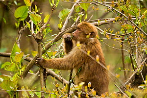 Arunachal Macaque (Macaca munzala) feeding on budding leaves. Arunachal Pradesh, eastern India. - Sandesh Kadur