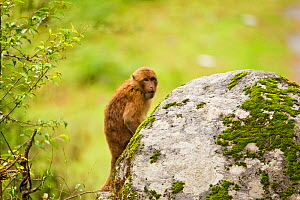 Arunachal Macaque (Macaca munzala) looking from behind a rock. Arunachal Pradesh, eastern India. - Sandesh Kadur