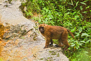 Arunachal Macaque (Macaca munzala) walking. Arunachal Pradesh, eastern India. - Sandesh Kadur