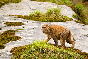 Arunachal Macaque (Macaca munzala) wet with rain on mossy rock. Arunachal Pradesh, eastern India. - Sandesh Kadur