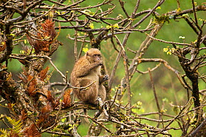Arunachal Macaque (Macaca munzala) feeding among budding branches. Arunachal Pradesh, eastern India. - Sandesh Kadur