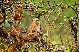 Arunachal Macaque (Macaca munzala) calling from tree. Arunachal Pradesh, eastern India. - Sandesh Kadur
