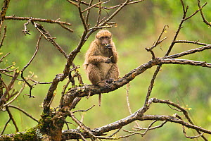 Arunachal Macaque (Macaca munzala) sitting in tree feeding on leaves. Arunachal Pradesh, eastern India. - Sandesh Kadur