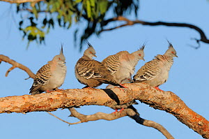 Four Crested pigeons (Ocyphaps lophotes) roosting, New South Wales, Australia, October  -  Dave Watts