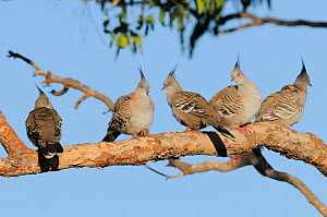 Five Crested pigeons (Ocyphaps lophotes) roosting on branch, New South Wales, Australia, October  -  Dave Watts