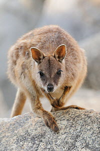 Mareeba rock wallaby (Petrogale mareeba) portrait, near Mareeba, Queensland, Australia, November - Dave Watts