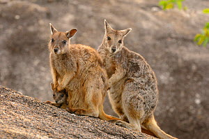 Mareeba rock wallaby (Petrogale mareeba) family, near Mareeba, Queensland, Australia, November - Dave Watts