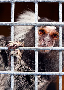 Common marmoset (Callithrix jacchus) in cage in zoo, Cumbria, UK.  -  Merryn Thomas