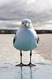 Portrait of Gull (Laridae) on board the Ardrossan to Brodick Ferry, Scotland, August 2011.  -  Merryn Thomas