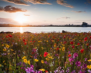 Cardiff Bay in the evening, with meadow flowers on the Barrage. Cardiff, Wales, July 2011. - Merryn Thomas