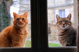 Two Domestic cats outdoors  looking in through window, France - Jouan & Rius