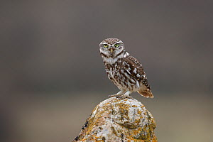 Little owl (Athene noctua) La Rioja, Spain April  -  Jose Luis GOMEZ de FRANCISCO