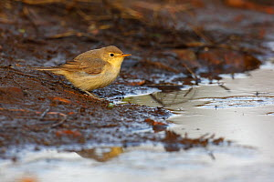 Willow warbler (Phylloscopus trochilus) by water, La Rioja, Spain September  -  Jose Luis GOMEZ de FRANCISCO