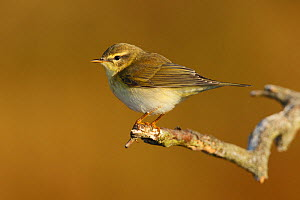 Willow warbler (Phylloscopus trochilus) La Rioja, Spain September  -  Jose Luis GOMEZ de FRANCISCO