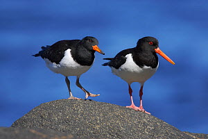 Oystercatcher (Haematopus ostralegus) adult and chick, Norway July - Jose Luis GOMEZ de FRANCISCO