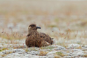 Great skua (Stercorarius skua) resting on ground, Iceland July - Jose Luis GOMEZ de FRANCISCO