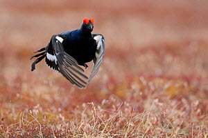 Male Black grouse (Lyrurus tetrix) in flight, displaying at lek, Liminka, Finland, April - Markus Varesvuo