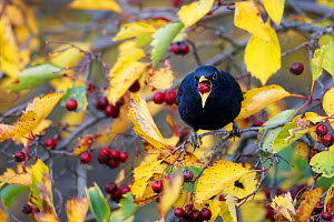 Blackbird (Turdus merula) eating berry, Helsinki, Finland, October - Markus Varesvuo