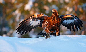 Golden eagle (Aquila chrysatus) with wings outstretched in snow, Utajarvi, Finland, January - Markus Varesvuo