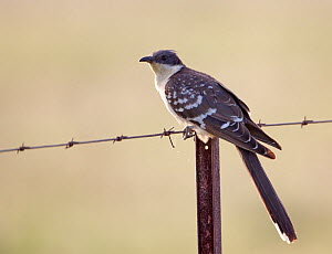 Great spotted cuckoo (Glamator glandarius) perched on fence, Spain, April  -  Markus Varesvuo