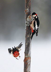 Great spotted woodpecker (Dendrocopus major) on tree trunk, another flying away, Kuhmo, Finland, February - Markus Varesvuo