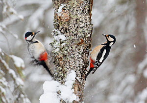 Two Great spotted woodpeckers (Dendrocopus major) on tree trunk in snow, Vaala, Finland, February  -  Markus Varesvuo