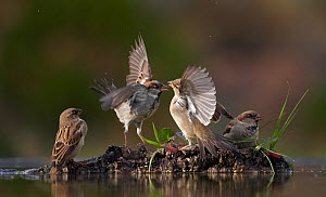 Four House sparrows (Passer Domesticus) at water, two squabbling, Spain, December  -  Markus Varesvuo