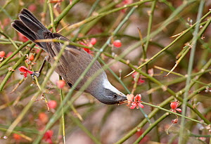 Lesser whitethroat (Sylvia curruca) feeding on flower, Israel, March  -  Markus Varesvuo