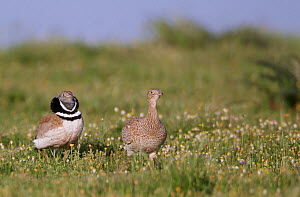 Little bustard (Tetrax tetrax) pair in meadow, male displaying, Spain, April  -  Markus Varesvuo