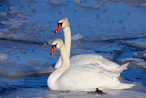 Two Mute swans (Cugnus olor) on water amongst ice, Uto, Finland, March  -  Markus Varesvuo