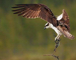 Osprey (Pandion haliaetus) in flight carrying twig for nest, Vaala, Finland, June  -  Markus Varesvuo