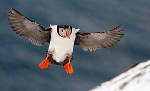 Puffin (Fratercula arctica) landing in snow, Norway, March - Markus Varesvuo
