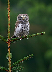 Eurasian pygmy owl (glaucidium passerinum) perched on branch, Hyvinkaa, Finland, January  -  Markus Varesvuo