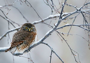 Eurasian pygmy owl (glaucidium passerinum) perched on snow covered branch, Kuusamo, Finland, January  -  Markus Varesvuo