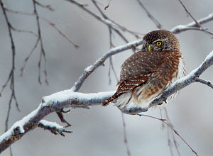 Eurasian pygmy owl (glaucidium passerinum) on snow covered branch, Kuusamo, Finland, January  -  Markus Varesvuo
