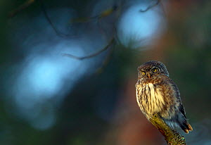 Eurasian pygmy owl (glaucidium passerinum) perched on branch, Helsinki, Finland, January  -  Markus Varesvuo
