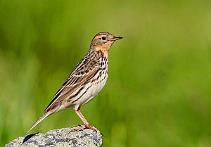 Red-throated pipit (Anthus cervinus) perched on rock, Norway, July  -  Markus Varesvuo