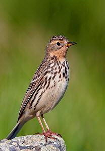 Red-throated pipit (Anthus cervinus) perched on rock, portrait, Norway, July  -  Markus Varesvuo