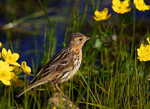 Red-throated pipit (Anthus cervinus) amongst flowers, Norway, July  -  Markus Varesvuo