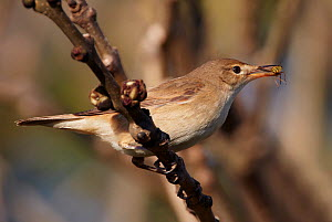 Reed warbler (Achrocephalus scirpaceus) with insect in beak, Uto, Finland, May - Markus Varesvuo