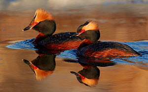 Two Slavonian / Horned grebes (Podiceps auritius) on water, Uto, Finland, May  -  Markus Varesvuo