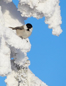 Willow tit (Poecile montanus) on snow covered conifer branch, Kuusamo, Finland, February - Markus Varesvuo